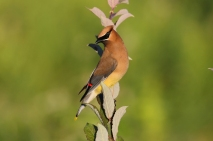 Cedar Waxwing on PRRT 2015