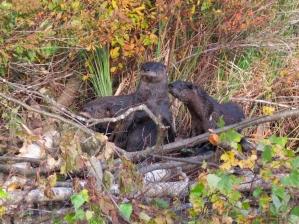 Three river otters