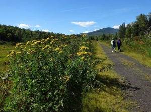 Walkers with blooming tansy 13 Sep 2016
