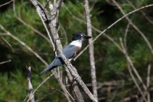 belted kingfisher 1Z0A1964cc