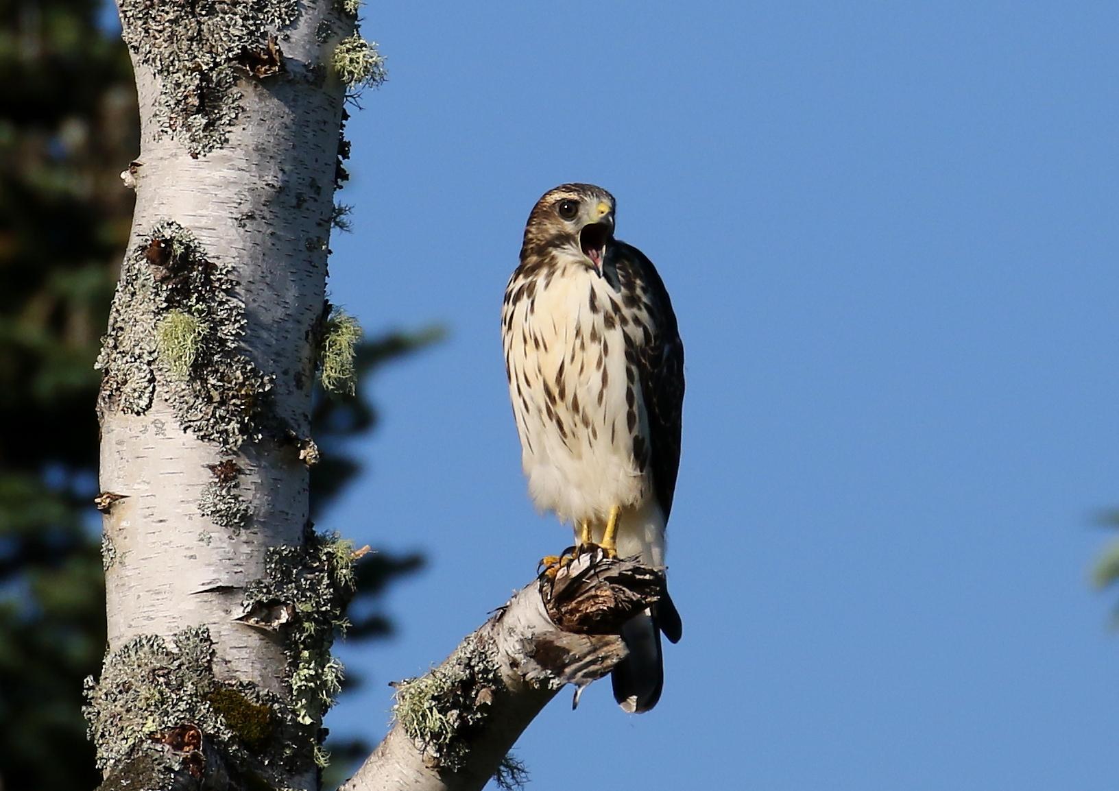 broad-winged hawk juvenile 5662c