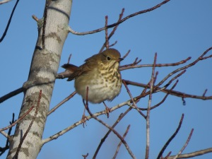 hermit thrush Oct '14 00062