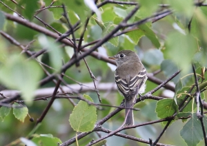 least flycatcher 00036cc