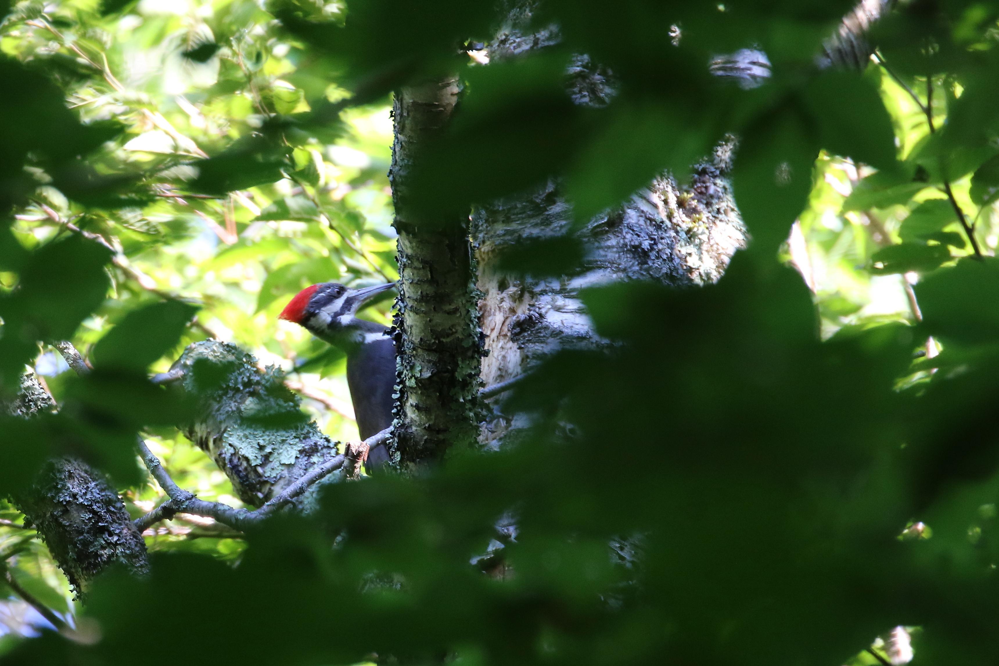 pileated woodpecker 000cc