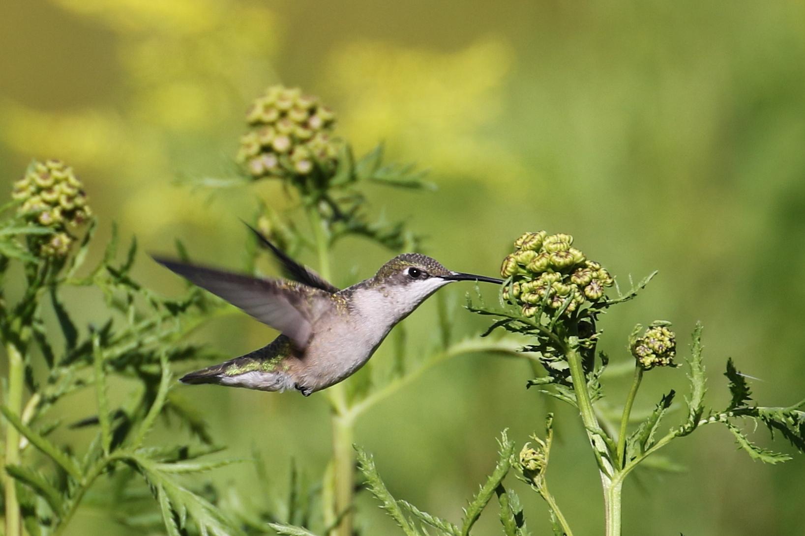 ruby-throated hummingbird 1Z0A1943cc